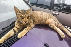Cat climb on car can damage paint with paws claws Royalty Free Stock Image