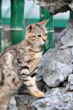 Cat climbing on the rock. A gray cat climbing on the rock Stock Photo