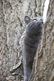 Cat Climbing Tree Royalty Free Stock Image