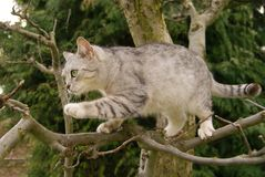 Cat climbs a tree. Gray cat climbs the tree branches Royalty Free Stock Photography