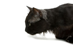 Cat Close Up Royalty Free Stock Image