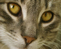 Cat close-up. Extreme close-up of a tabby cat with amber eyes Royalty Free Stock Photos