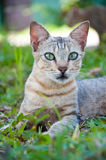 Cat  Close up Royalty Free Stock Photo
