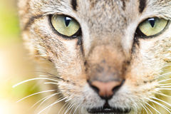 Cat close up Stock Photography
