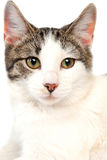 Cat close-up Stock Images