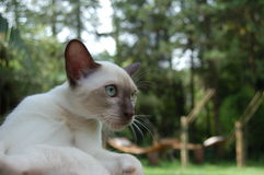 Cat Close-up. Close-up  of a kitten Tonkinese cat with blue eyes Royalty Free Stock Photos