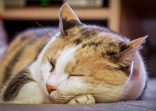 Cat. A close-up of a beautiful cat resting with eyes closed Royalty Free Stock Images