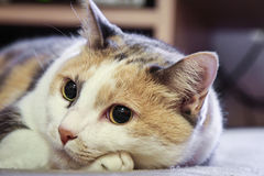 Cat. A close-up of a beautiful cat resting with eyes open Royalty Free Stock Photos