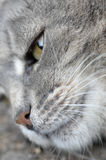 Cat close-up face Royalty Free Stock Photo