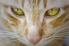 Cat in close up face. Close up face portrait of thai cat Stock Photos