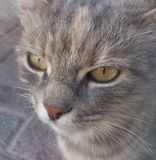 Cat close up Royalty Free Stock Image