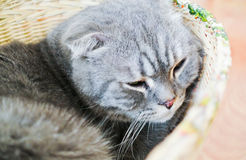 Cat. Close up little gray cat sleep in basket Royalty Free Stock Image