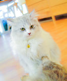 Cat. Close up little white cat Royalty Free Stock Photo