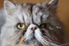 The cat. Close up persian cat portrait Royalty Free Stock Photos