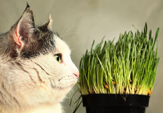 Cat close up photo with green grass sprouts Royalty Free Stock Photo