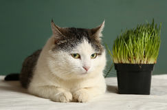 Cat close up photo with green grass sprouts Royalty Free Stock Photos