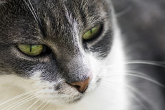 Cat close up Royalty Free Stock Images