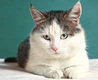Cat close up portrait on blue wall background Royalty Free Stock Photo
