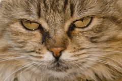 Cat close up portrait Stock Image