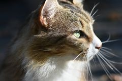 Cat close up profile. Cat, domesticate, pet, friend, furry, hair, green eyes, close up, side view, portrait, outdoors, whiskers, background, staring, beautiful stock photos