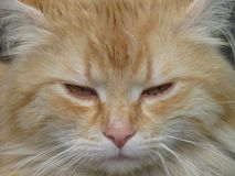 Cat close up protrait. Beige tomcat with yellow amber eyes. Detail of cat face. Stock Image