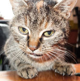 Cat - close up view Royalty Free Stock Images