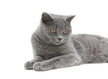 Cat close up on white background Stock Image