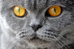 Cat close-up. With yellow eyes Stock Images
