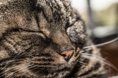 Cat with closed eyes Stock Images