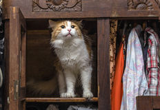 Cat in closet. Red-white cat in old closet proudly stands royalty free stock photos