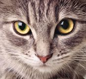 Cat closeup. One cat close up face royalty free stock photos