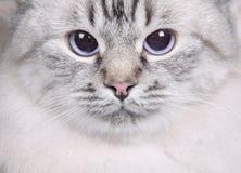 Cat closeup Royalty Free Stock Image
