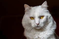 Cat. A closeup of a beautiful white cat with eyes open Royalty Free Stock Photo