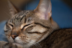 Cat closeup eyes closed Royalty Free Stock Photography