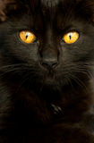 Cat. Closeup photo of a black cat Royalty Free Stock Images