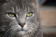 Cat closeup Royalty Free Stock Image