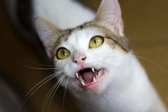 Cat. Closeup of a white cat with open mouth royalty free stock image
