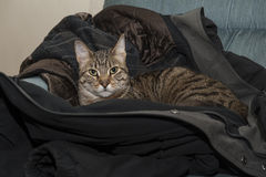 Cat in the Coat Royalty Free Stock Photo