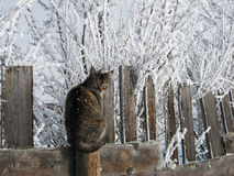 Cat on a Cold Plank Fence. They need to double my catnip when they ask me to do scenes likes this said Bright Eyes.  Snow even fell down her back. Yes, this Royalty Free Stock Images