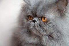 Cat with collar Royalty Free Stock Image