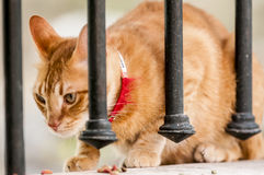 A cat with collar is eating. Aside fence Royalty Free Stock Image