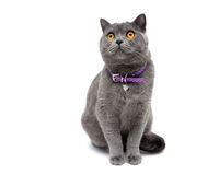 Cat with a collar isolated on a white background close-up Stock Photos