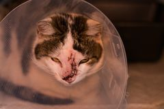 Cat with collar after tumor removing surgery stock photo