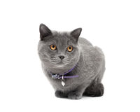 Cat with a collar on a white background close-up Stock Images