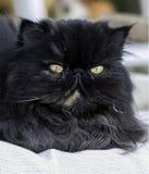 Cat Color Dark Smoke persa que olha com grande interesse imagem de stock