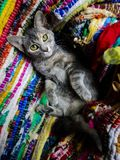 Cat on Colorful Rug. Dilute torbie kitten laying belly-up on a colorful woven rug stock photography