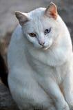 Cat With Complete Heterochromia bianca Immagini Stock Libere da Diritti
