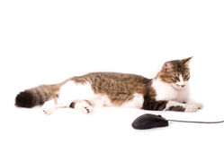 Cat with computer mouse Stock Photo