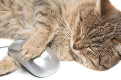 Cat with the computer mouse Royalty Free Stock Photos