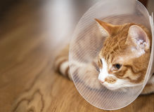 Cat with cone on a floor stock images